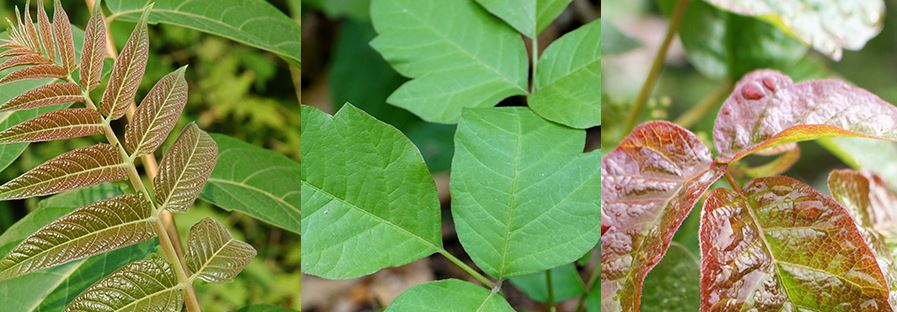 Three images of various poisonous plants