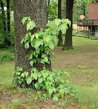 Picture of Poison ivy plant and vine growing on a tree