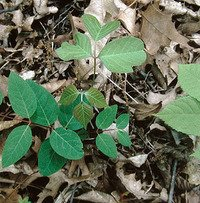 picture of four different types of plants with the one in the middle being poison ivy