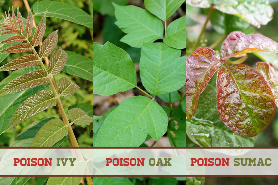 Image of 3 Urushiol producing plants: Poison Ivy, Oak, and Sumac