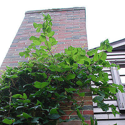 Within this photo, the Poison Ivy is shown climbing up a chimney of a suburban home. This photo is a perfect example of the process of climbing Poison Ivy. This photo is courtesy of www.poison-ivy.org