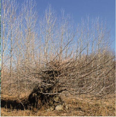 This photo showcases a Poison Ivy bush in the winter season. The photo is courtesy of www.poison-ivy.org