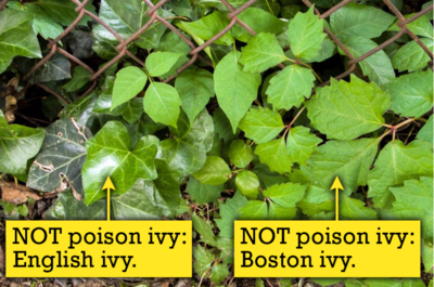 English Ivy and Boston Ivy are commonly mistaken for Poison Ivy. This photo shows both types and is courtesy of www.poison-ivy.org