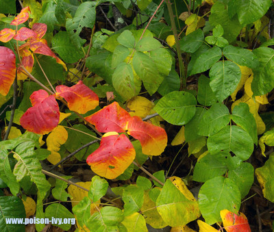 Poison Ivy has lovely fall colors. Even though they may be beautiful, Poison Ivy is still dangerous. This photo is courtesy of www.poison-ivy.org