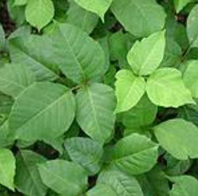 This photo showcases typical mid summer ground Poison Ivy. The Poison Ivy contains some leaves that are young and red, and others are old and green. This photo is courtesy of www.poison-ivy.org
