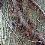 This photo showcases Poison Ivy in winter. Old vines are thick and hairy, newer vines are smooth. Both contain the oil that causes the rash. (Most of the oil is drawn back from the leaves into the vines for winter, so the vines are quite potent.) This photo is courtesy of www.poison-ivy.org