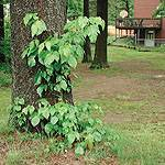 This photo showcases typical suburban Poison Ivy. The photo is courtesy of www.poison-ivy.org