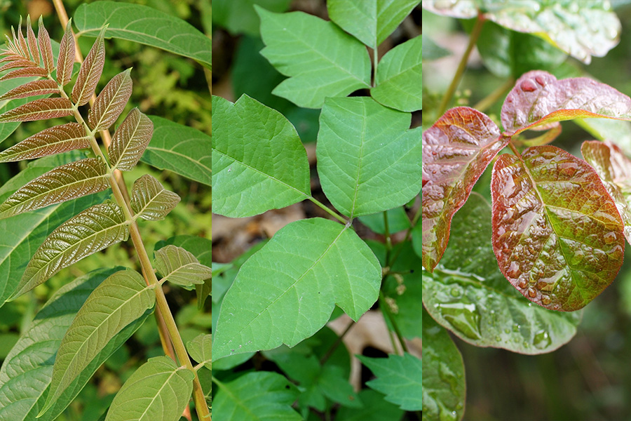 An image of Poison Ivy, Oak, and Sumac